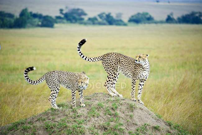 Adult and young cheetahs hunting from termite mound, Masai Mara Reserve, Kenya, East Africa — Stock Photo