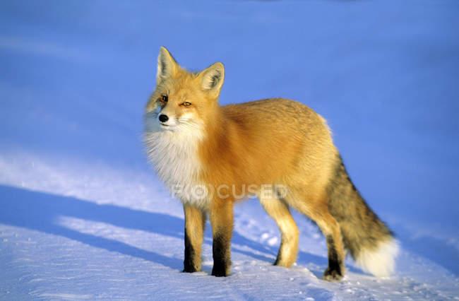 Дорослий лисиця руда, стоячи в снігу в сонячному світлі. — стокове фото