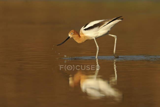 American avocet bird hunting in lake water, close-up. — Stock Photo