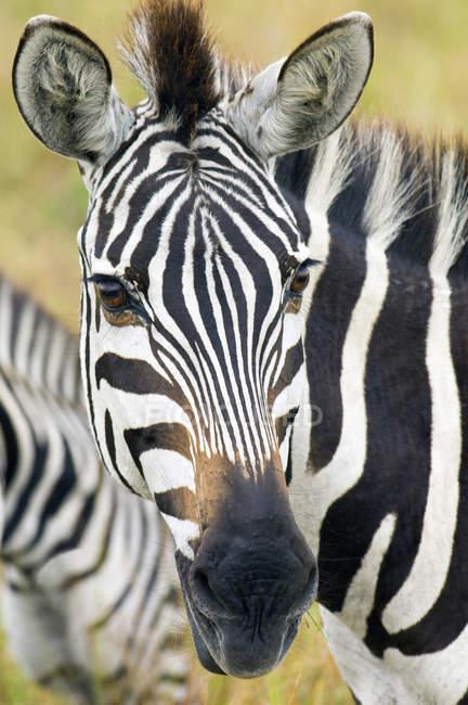 Primer plano de la cebra de los llanos en llanuras de Serengeti, África Oriental, Kenya - foto de stock