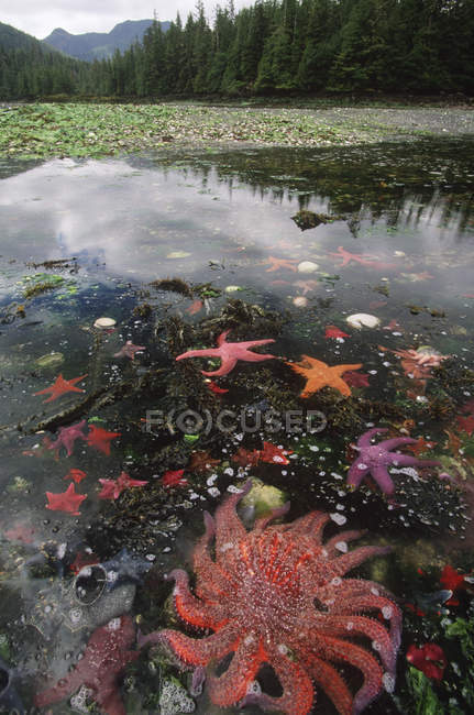 Морские анемоны и морские звезды на отливе, доломит сужается, Gwaii Haanas, Британская Колумбия, Канада. — стоковое фото