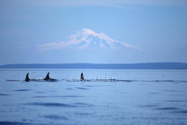 Косатки, плавание перед Олимпийские горы, Остров Ванкувер, Британская Колумбия, Канада. — стоковое фото