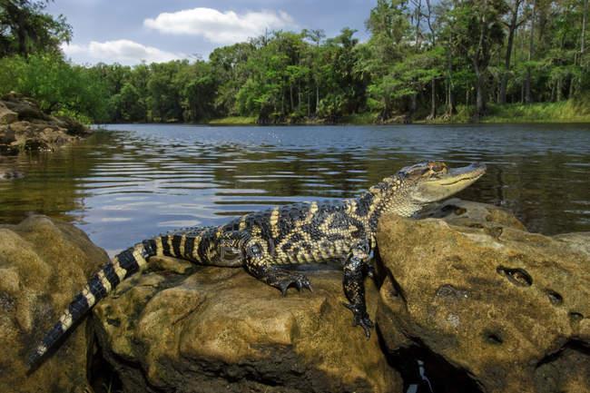 Jacaré americano juvenil na margem do Rio de rocky na Flórida central, EUA. — Fotografia de Stock