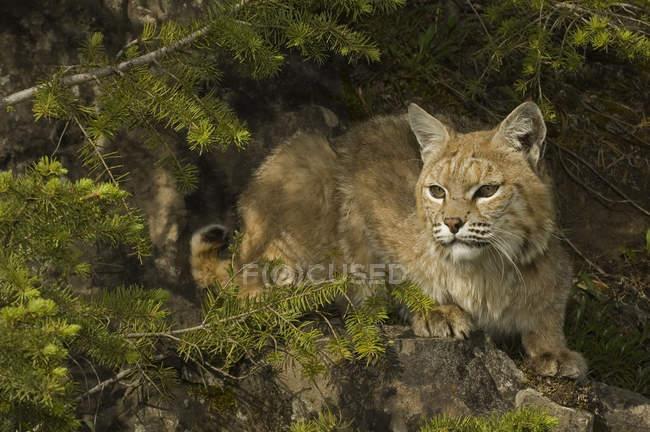 BOBCAT скрывается в филиалах в горных лесов, Монтана, США. — стоковое фото