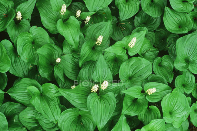 False Lilies of the Valley plants with flowers and green leaves — Stock Photo
