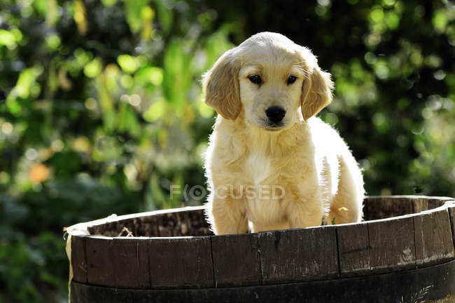 Moyenne de chiot pure race golden retriever au tonneau en bois. — Photo de stock
