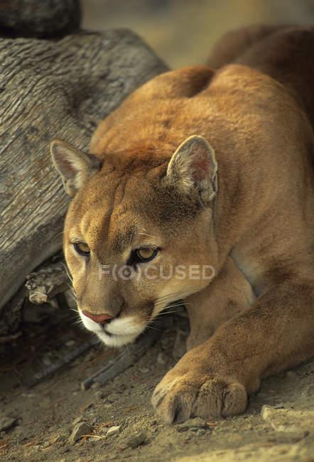 Cougar hockt in der Nähe von Baumstamm im Freien, Nahaufnahme. — Stockfoto