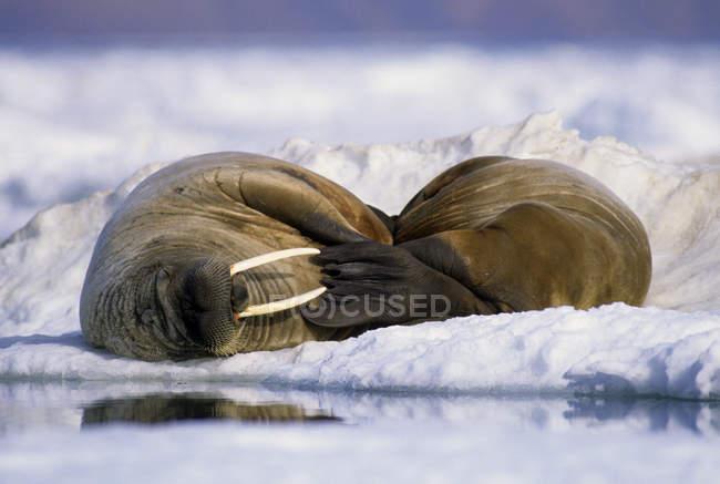 Atlantic trichechi (Odobenus rosmarus rosmarus) loafing sul ghiaccio pack, Alexandra Fiord, isola di Ellesmere centro-orientale, alta Artide canadese — Foto stock