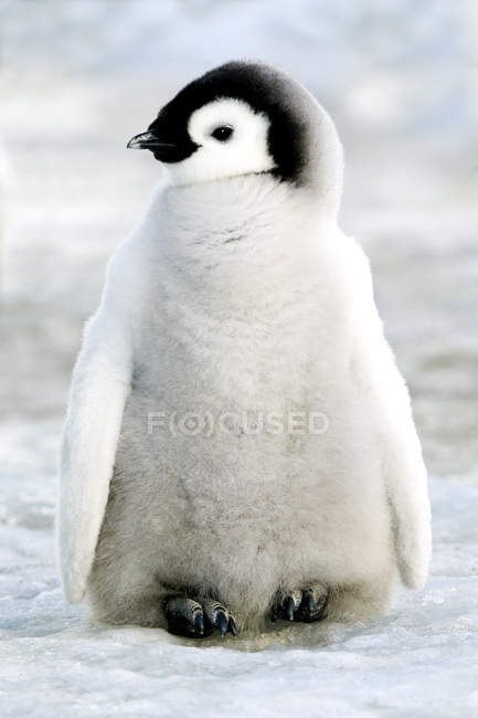 Cute emperor penguin chick standing in snow on Snow Hill Island, Weddell Sea, Antarctica — Stock Photo