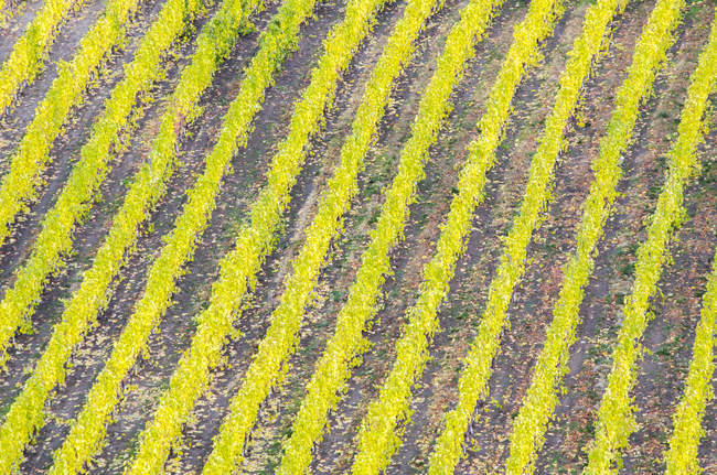 Natural pattern of grape plants in vineyard of Okanagan Valley, British Columbia, Canada. — Stock Photo