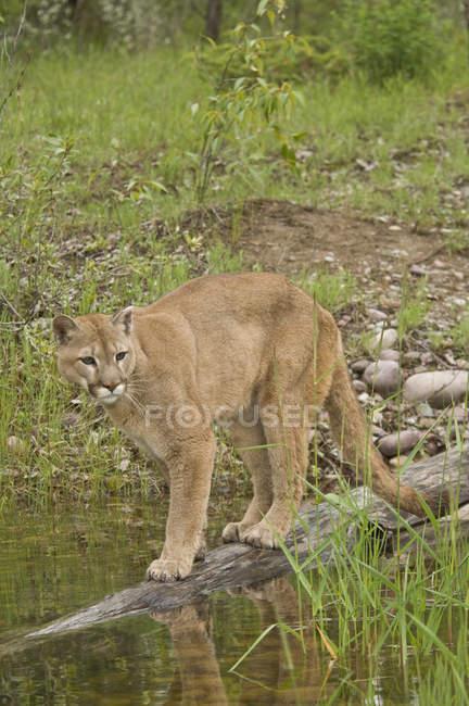 Puma spaziert auf Baumstamm in Teich im Freien. — Stockfoto
