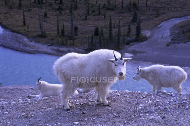 Rebanho de cabras da montanha com vista para o Rio de Athabasca, no Parque Nacional de Jasper, Alberta, Canadá — Fotografia de Stock