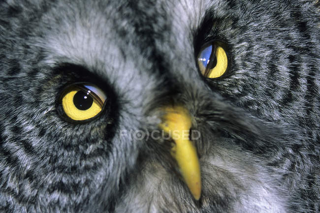 Close-up portrait of adult great gray owl. — Stock Photo