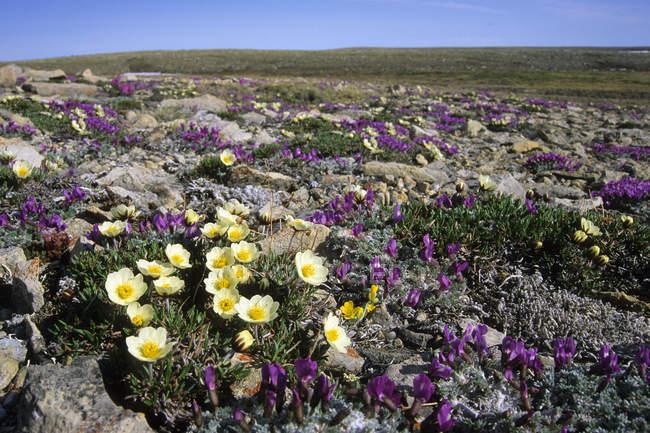 Driada y oxytropis flores en seco tundra del Ártico sur de isla de Victoria, Nunavut, Canadá - foto de stock