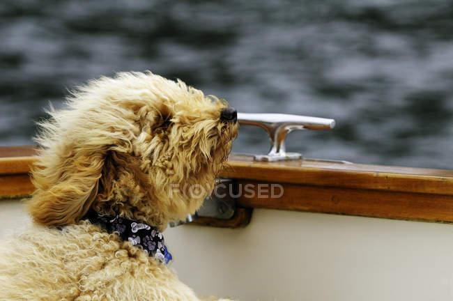 Purebri miniatura Australiano labradoodle cucciolo canottaggio in tempo ventoso, vista laterale . — Foto stock
