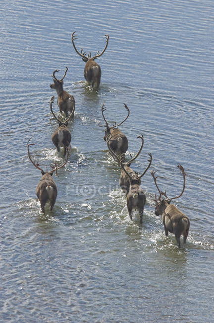 Branco di aridi caribù che attraversano il fiume durante la migrazione estiva nei Territori del Nord-Ovest, Canada — Foto stock