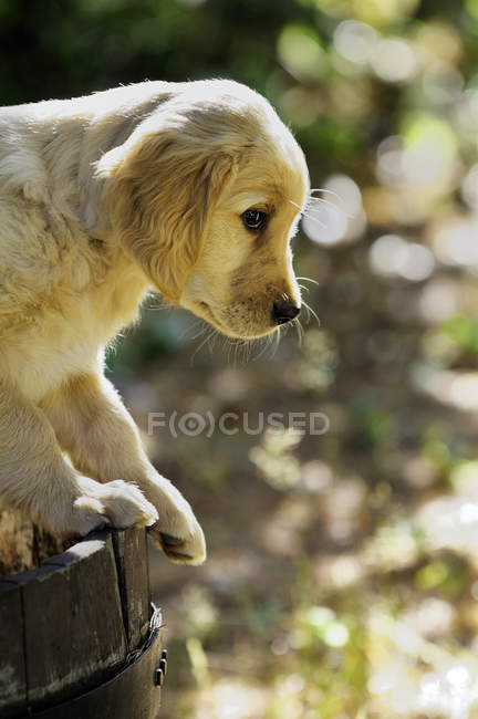 Debout de chiot de race golden retriever sur tonneau en bois. — Photo de stock