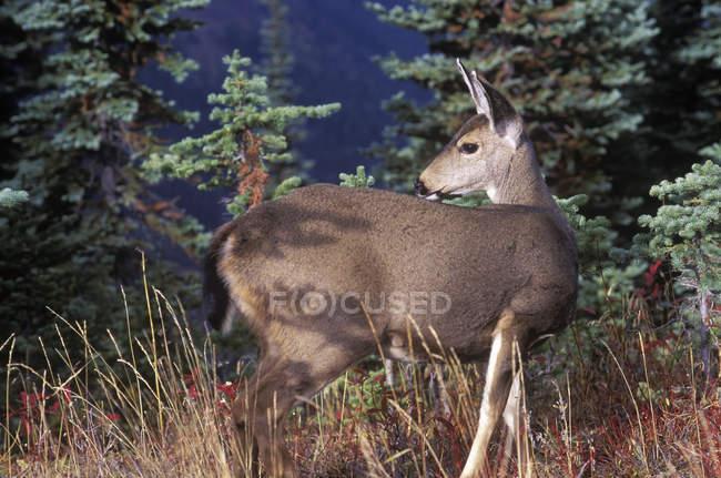 Negro cola de pie de ciervo en pastos - foto de stock