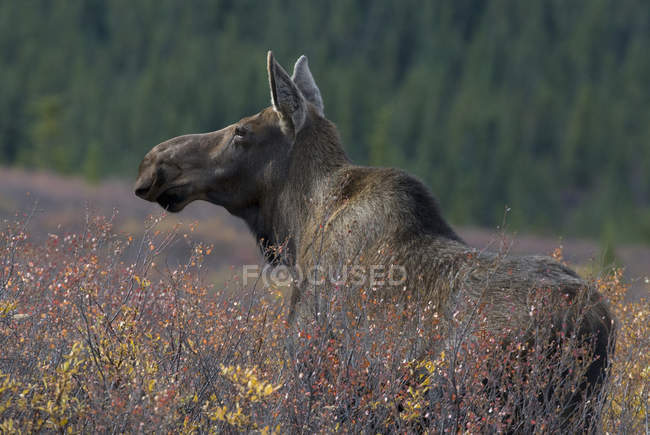Cow moose in dense dwarf birches and shrubs of Denali National Park, Alaska, USA — Stock Photo