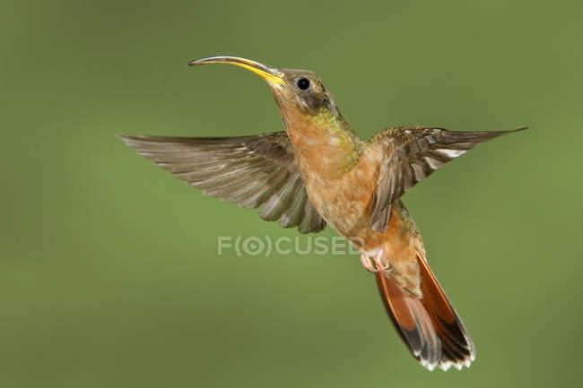 Colibrí ermitaño de rufous-breasted volando en Trinidad y Tobago. - foto de stock