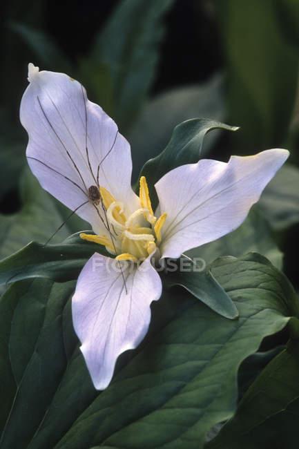 Арахнид на западном цветке триллиума, крупный план — стоковое фото