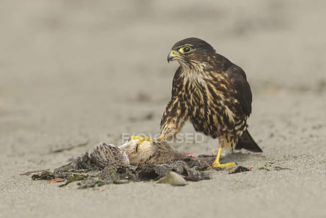 Falco di Merlin arroccato sulla spiaggia e alimentazione in preda, primo piano — Foto stock