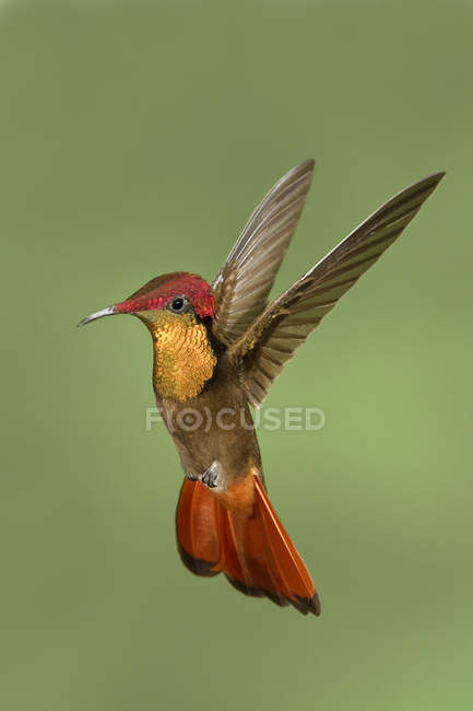 Закри ruby топаз колібрі наведення крила в польоті. — стокове фото