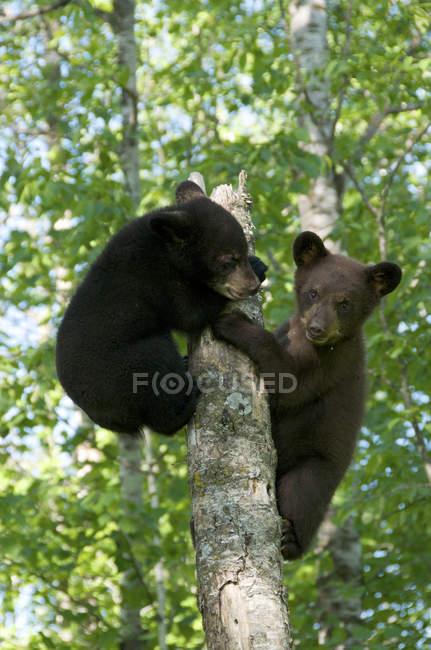 Americano cuccioli di orso nero arrampicata sul tronco d'albero nella foresta . — Foto stock