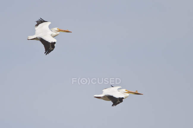 Due pellicani bianchi americani volano in cielo — Foto stock