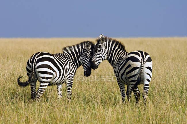 Female plains zebras mutually grooming in meadow of Masai Mara Reserve, Kenya, East Africa — Stock Photo