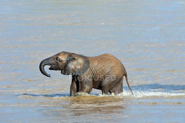 African elephant calf crossing Ewaso Nyiro river in Samburu National Park, Kenya, East Africa — Stock Photo