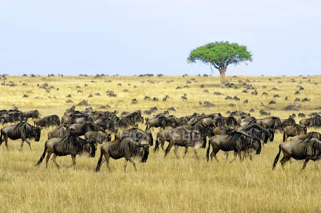 Grand groupe de communes gnous en migration, réserve Masai Mara, au Kenya, Afrique de l'est — Photo de stock