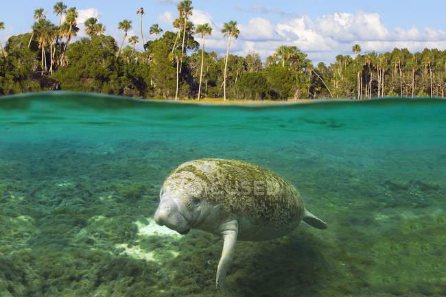 Lamantino Florida nelle acque del Crystal River, Florida, Stati Uniti — Foto stock