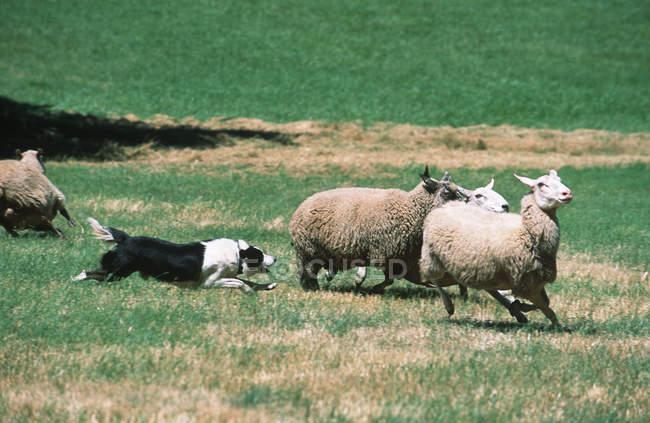 Border collie gregge ovine in terreni agricoli British Columbia, Canada . — Foto stock