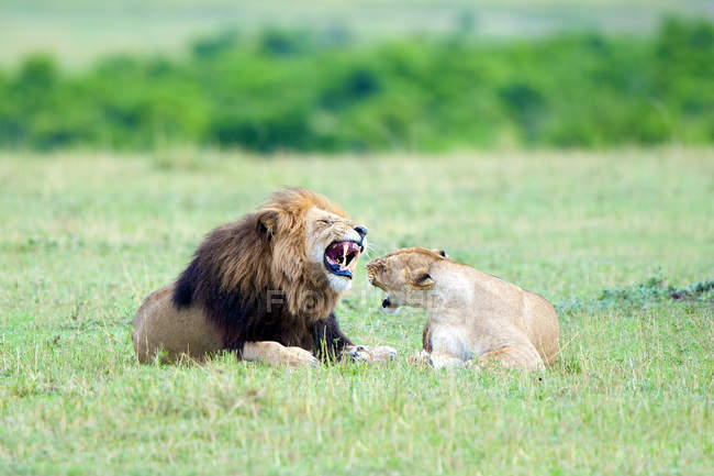 Lion and lioness on meadow in Masai Mara Game Reserve, Kenya, East Africa — Stock Photo