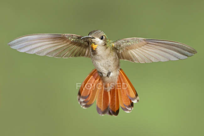 Close-up di Colibrì rubino-topazio bilico ali in volo. — Foto stock