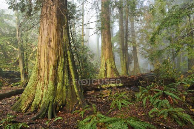 Old growth cedar alberi, Parco del Faro, West Vancouver, Columbia britannica, Canada — Foto stock