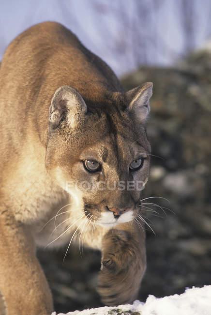 Puma auf felsigem Berghang im Winter, Nahaufnahme. — Stockfoto
