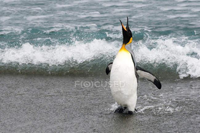 Re pinguino in piedi al mare, guardando in alto e gridando a Isola della Georgia del Sud, Antartide — Foto stock