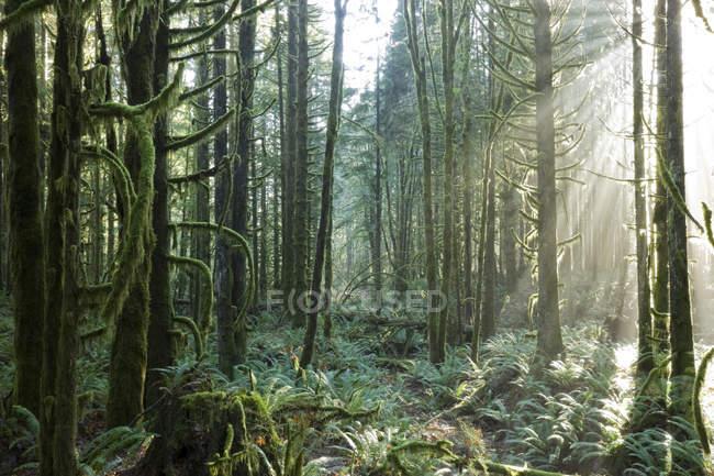 La lumière du soleil traverse la forêt dans le parc provincial Golden Ears à Maple Ridge, Colombie-Britannique, Canada — Photo de stock