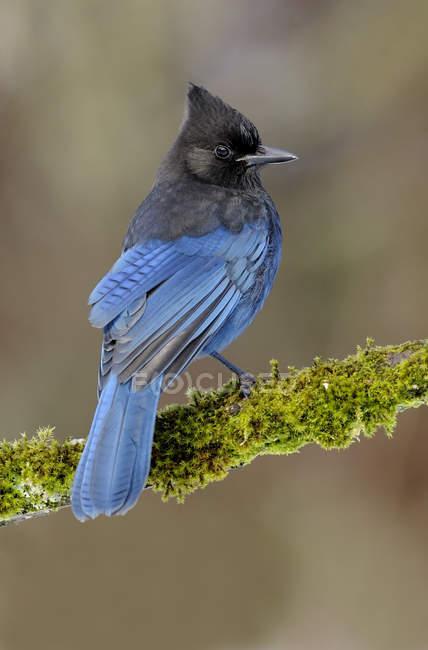 Gros plan de l'oiseau de geai Steller bleu perché sur une branche couverte de mousse . — Photo de stock