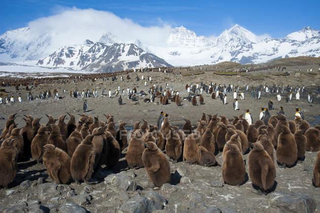Король пінгвін Чик creche на острів Південної Джорджії, Антарктида — стокове фото