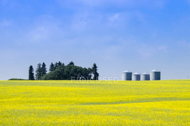 Canola field and grain containers near Airdrie, Alberta, Canada — Stock Photo