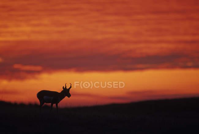 Французький мореплавець антилопи силует в Custer State Park, Південна Дакота, Сполучені Штати Америки. — стокове фото