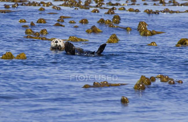 Sea Otter Schwimmen im Wasser Pflanzen in Gwaii Haanas, Haida Gwaii, Britisch-Kolumbien, Kanada — Stockfoto