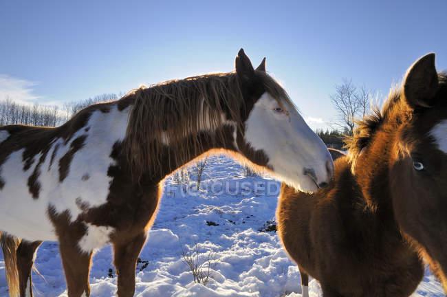 Pferde im Winter auf Land im Cariboo Region, British Columbia, Kanada, — Stockfoto