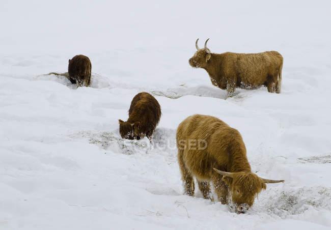 Schottische Hochlandrinder auf Nahrungssuche im nördlichen Okanagan-Schnee in Lärchenwäldern, Enderby, Britische Kolumbia, Kanada. — Stockfoto