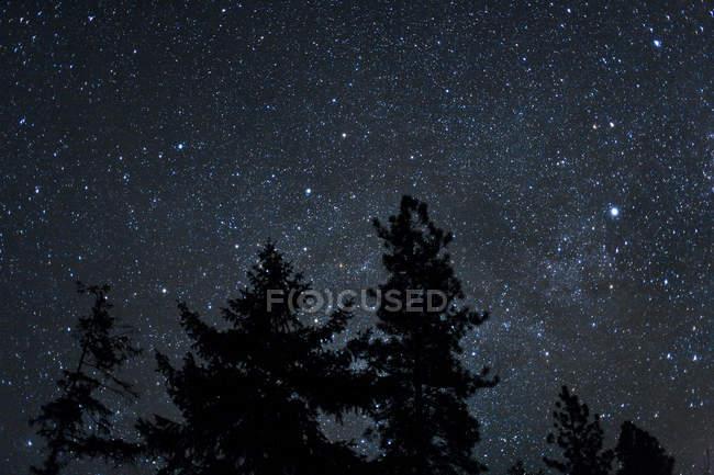 Picos de los árboles en el fondo estrellado del cielo nocturno - foto de stock