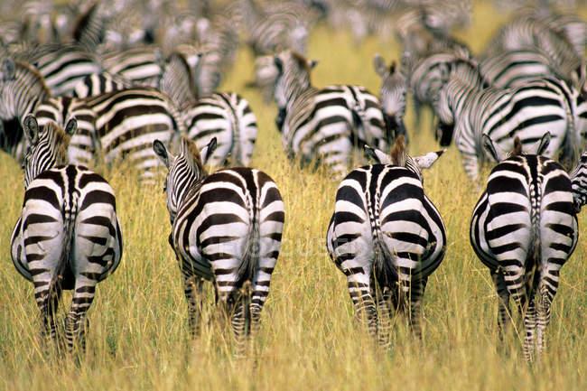 Manada de cebras de la llanura en migración en pastizales de llanuras de Serengeti, África Oriental, Kenya - foto de stock