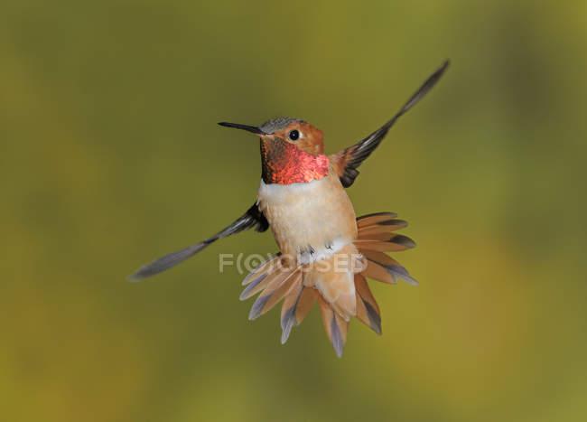 Colibri roux mâle en vol, gros plan. — Photo de stock